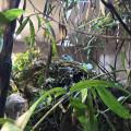 Wasseragamen Männchen