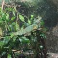 Wasseragamen Weibchen