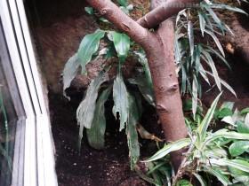 Äste Wasseragamen Terrarium