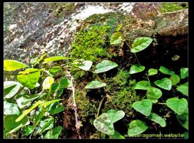 Hypertufa | Ficus Pumila