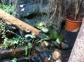 Wasseragamen Männchen mit Blatt vor dem Maul