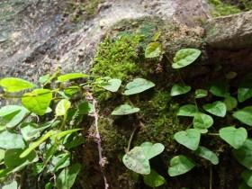 Ficus Pumila | Hypertufa Moose