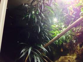 Ficus (OLEANDERFEIGE) Alii