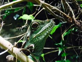 Grüne Wasseragame Weibchen