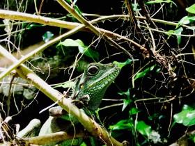 Grüne Wasseragame (Physignathus cocincinus) Weibchen