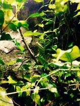Grüne Wasseragame (Physignathus cocincinus) Weibchen 0.1