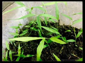 Moso Bambus