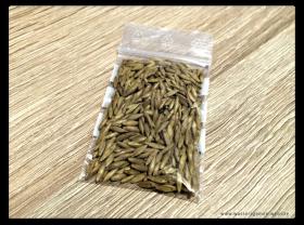 Bambus-Samen-Bambusa-arundinacea