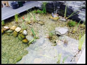 Koi Teich Pflanzenzone