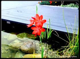 Rote Wasserlilie
