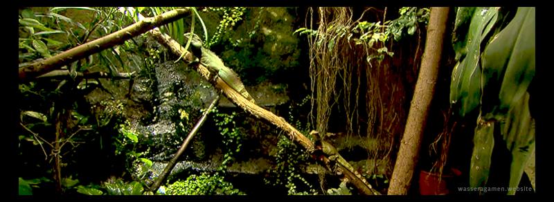 Wasseragamen Terrarium